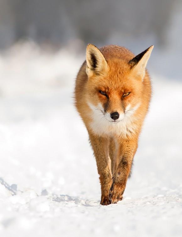 FireFox © Roeselien Raimond